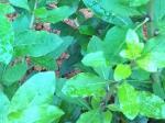 还长在地里的可食用的枸杞叶,枸杞树-高清